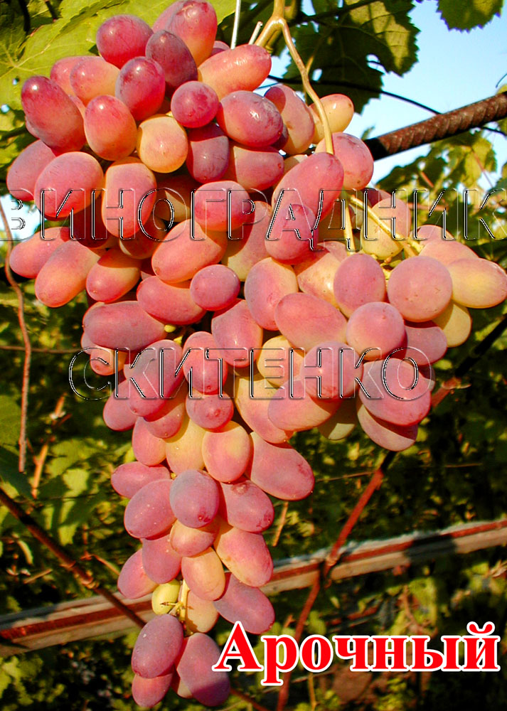 Арка сорт винограду