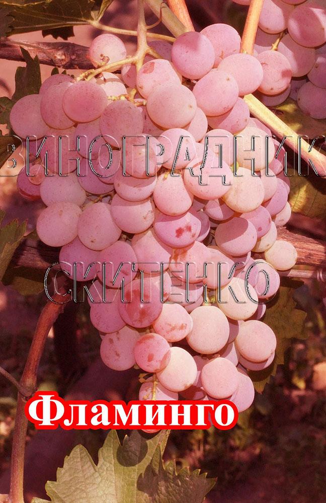 фото виноград розовый фламинго