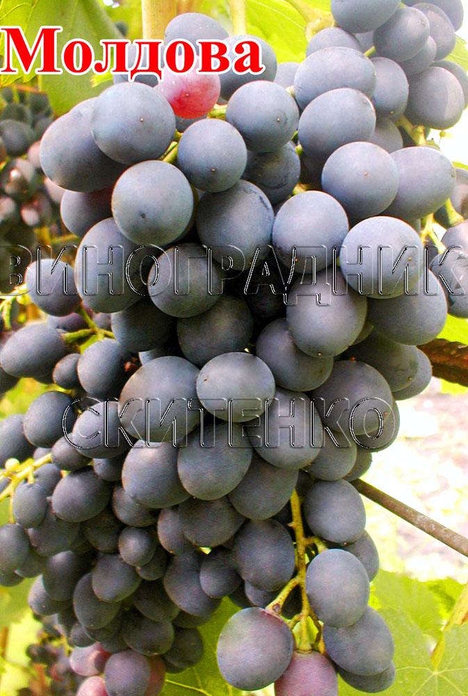 сорт винограда мерседес фото и описание